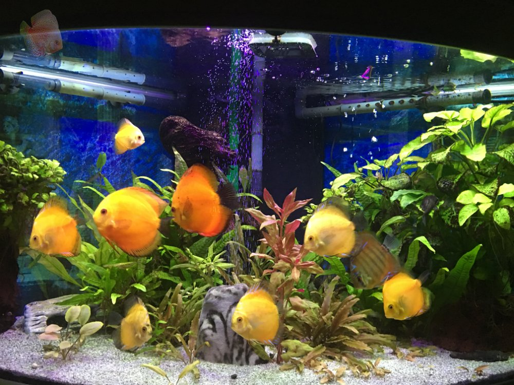 Bilder aquarien for Diskus aquarium